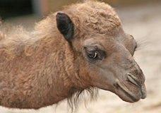 6000 диких верблюдов терроризируют небольшой поселок в Австралии